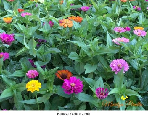 Plantas de Celia o Zinnia