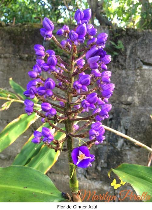 Flor de Ginger Azul