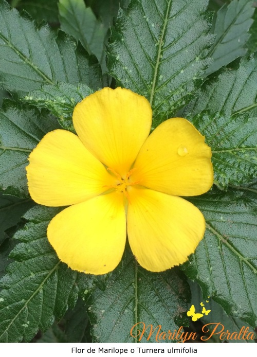 Flor de Marilope - Turnera ulmifolia