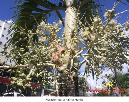 Floracion de la Palma Manila