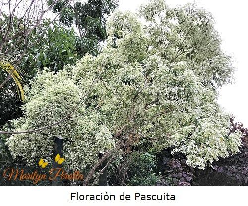 Floracion de Pascuita 1