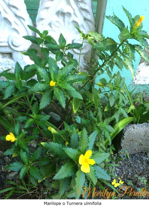 Marilope -Turnera ulmifolia