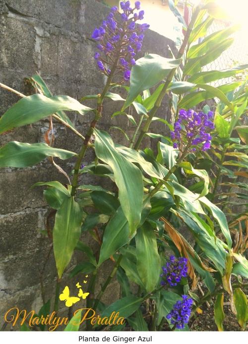 Planta de Ginger Azul