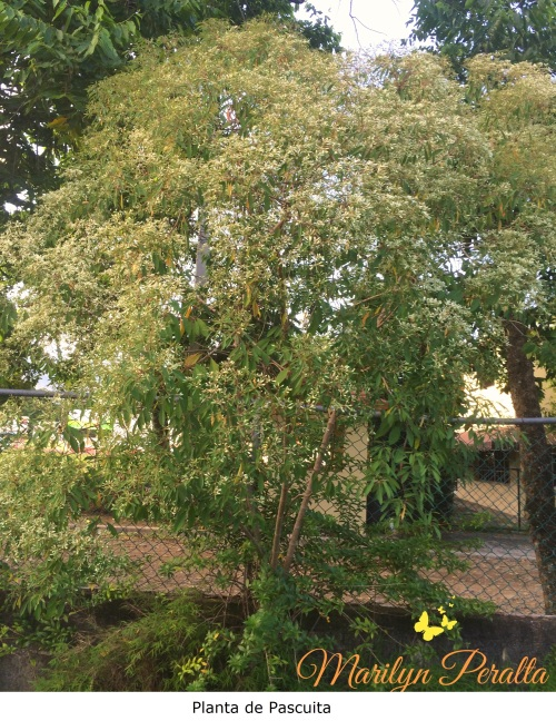 Planta de Pascuita