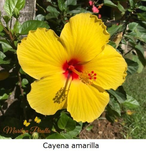 Cayena amarilla