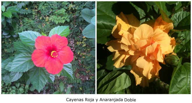 Cayenas roja y anaranjada doble