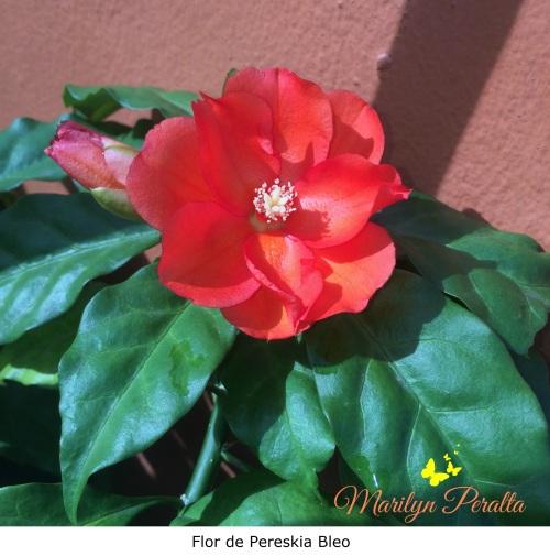 Flor de Pereskia Bleo