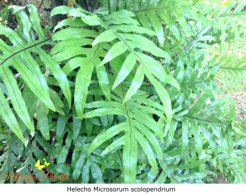 Helecho Microsorum scolopendrium