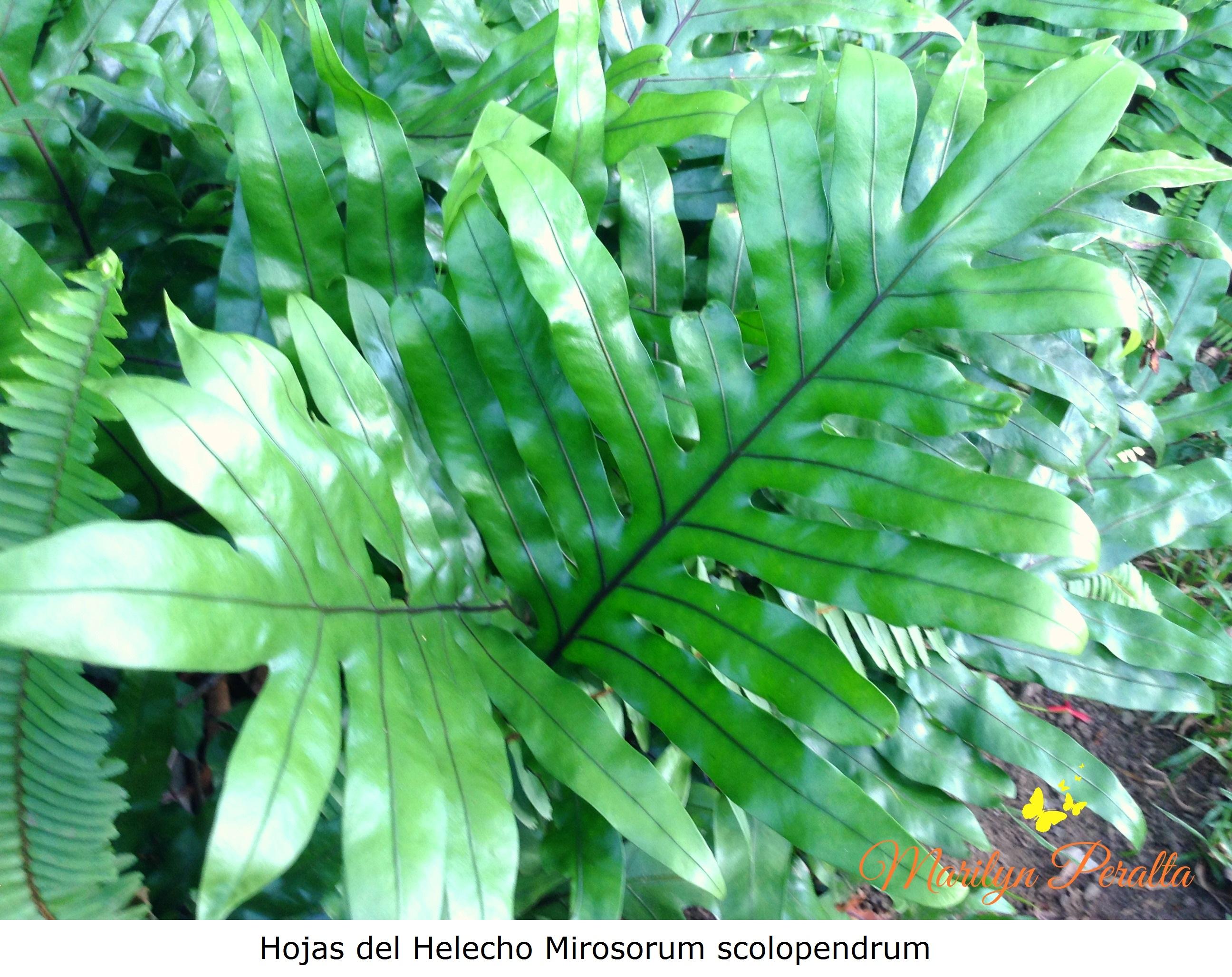 Helecho manito o helecho canguro rboles y flores en for Planta ornamental helecho nombre cientifico