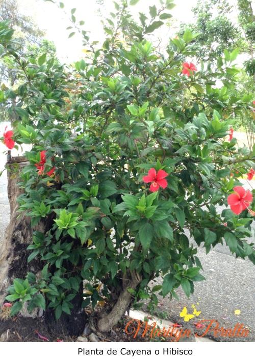 Planta de Cayena o Hibisco