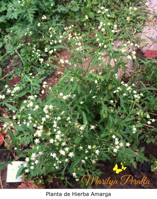 Planta de Hierba amarga