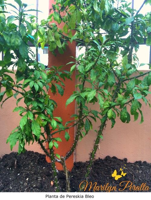 Planta de Pereskia Bleo