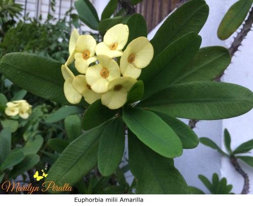 Tú y Yo o Euphorbia milii Amarilla