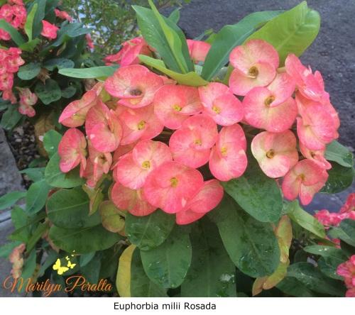 Tú y Yo o Euphorbia milii Rosada