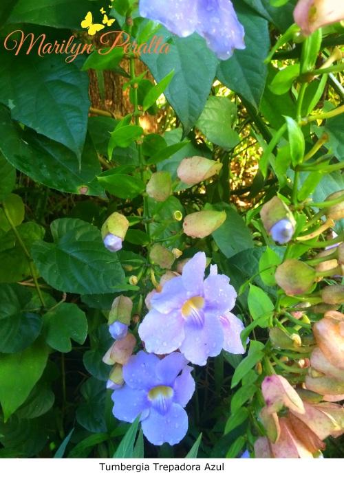 Tumbergia Trepadora Azul