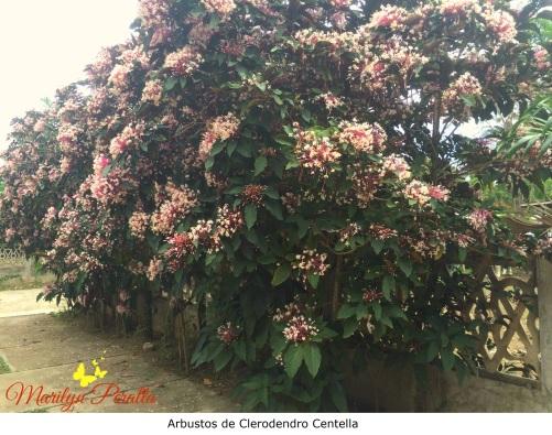 Arbustos de Clerodendro Centella
