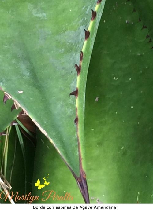 Borde con espinas del Agave Americana