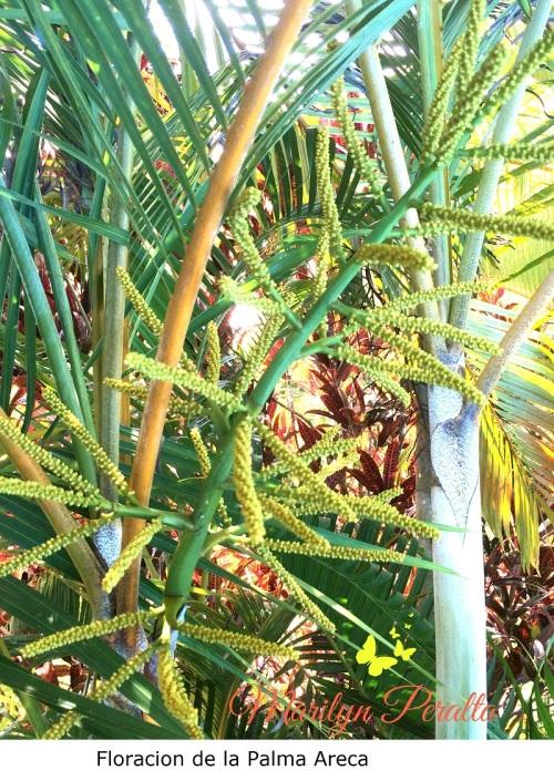 Floración de la Palma Areca