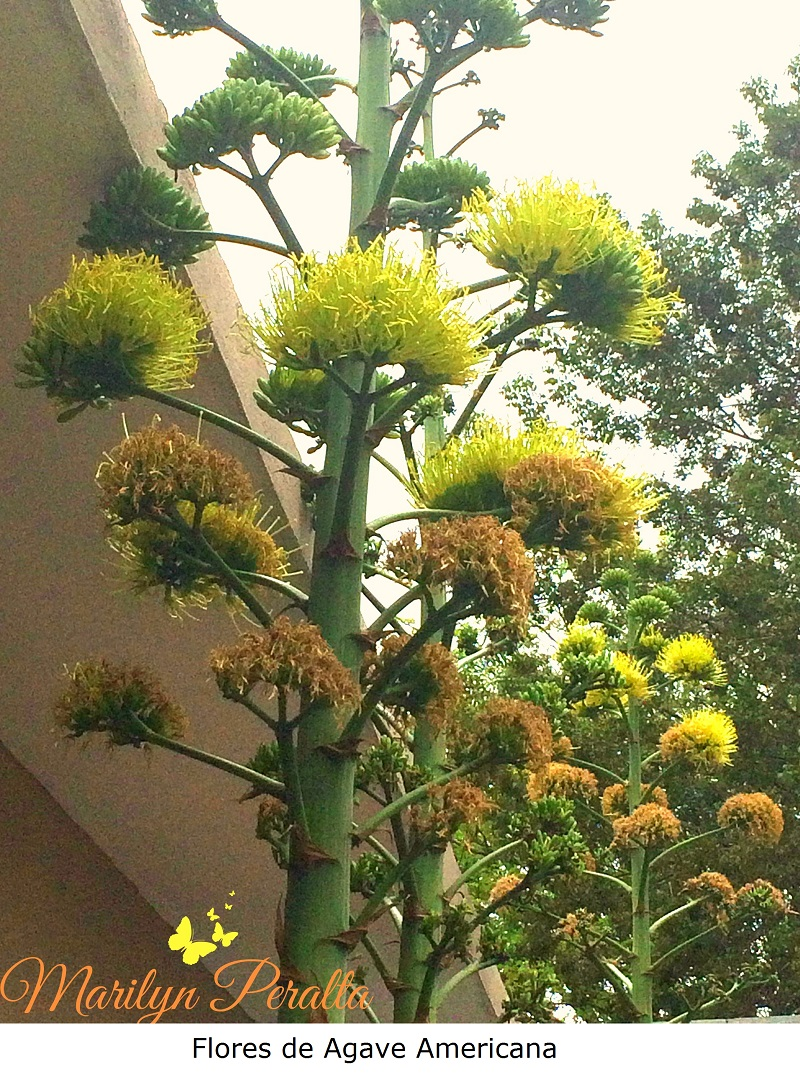 Flores de Agave Americana