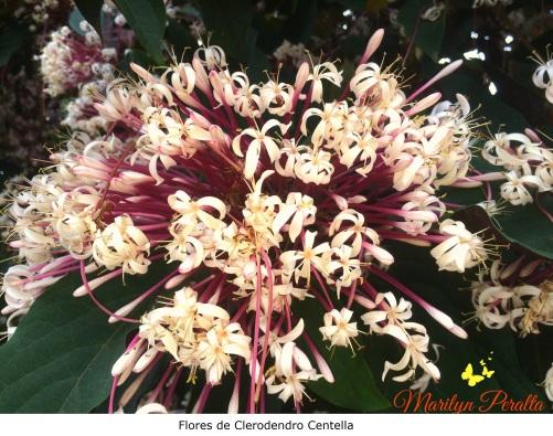Flores del Clerodendro Centella