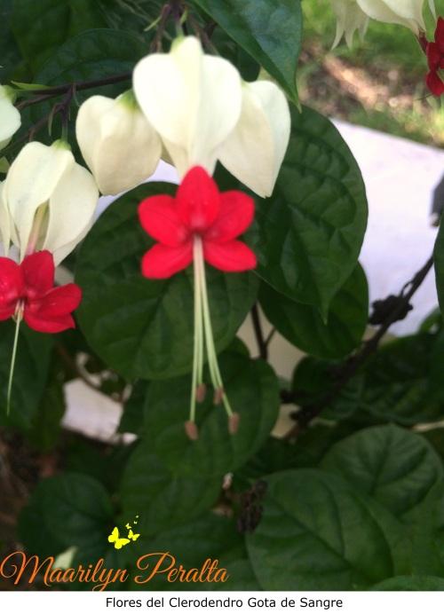 Flores del Clerodendro Gota de Sangre