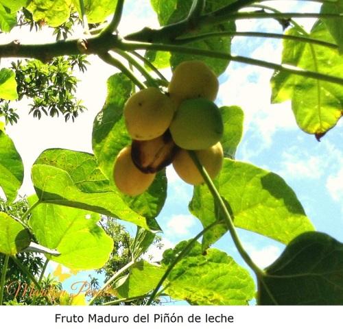 Fruto maduro del Piñón de Leche