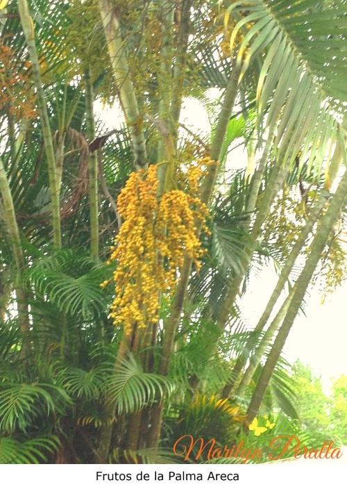 Frutos de la Palma Areca