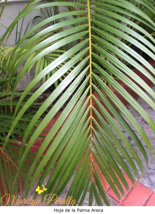 Hoja de la Palma Areca