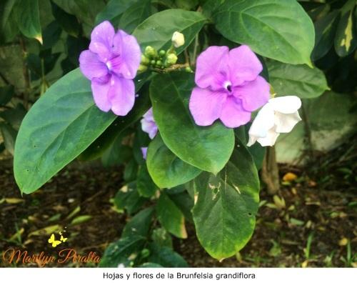 Hojas y flores de Brunfelsia grandiflora