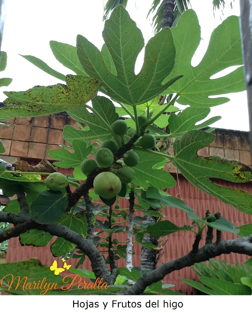 Hojas y frutos verdes de Higo