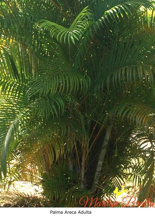 Palma Areca adulta