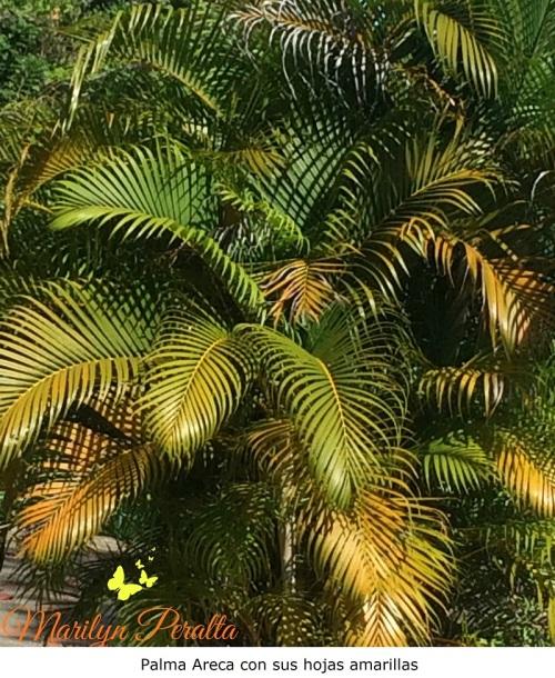 Palma Areca con sus hojas Amarillas