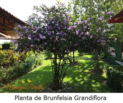 Planta de Brunfelsia grandiflora 1