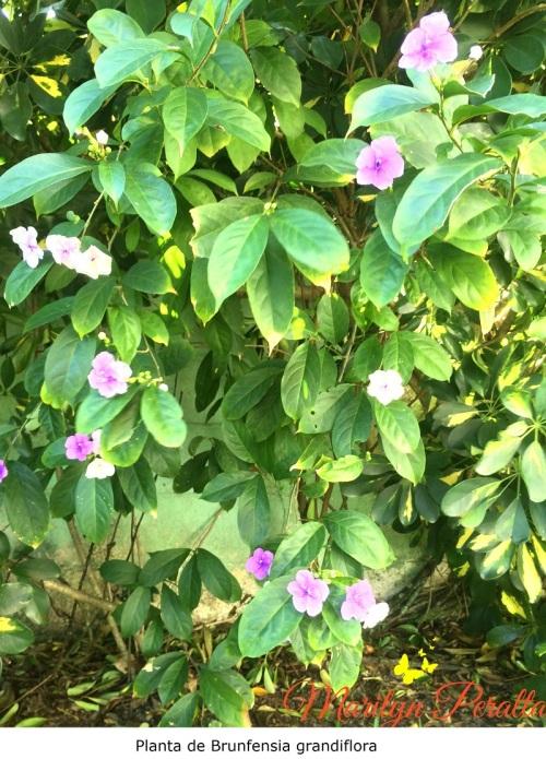 Planta de Brunfelsia grandiflora
