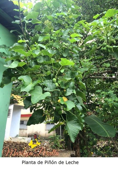 Planta de Piñón de Leche