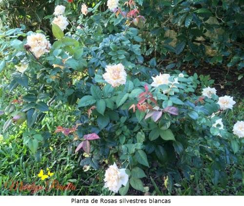 Planta de Rosas silvestres blancas