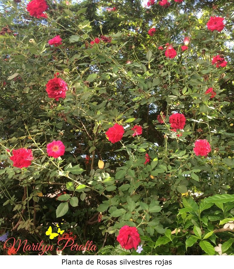 Planta de Rosas silvestres rojas