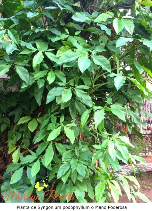 Planta de Syngonium podophyllum o Mano Poderosa