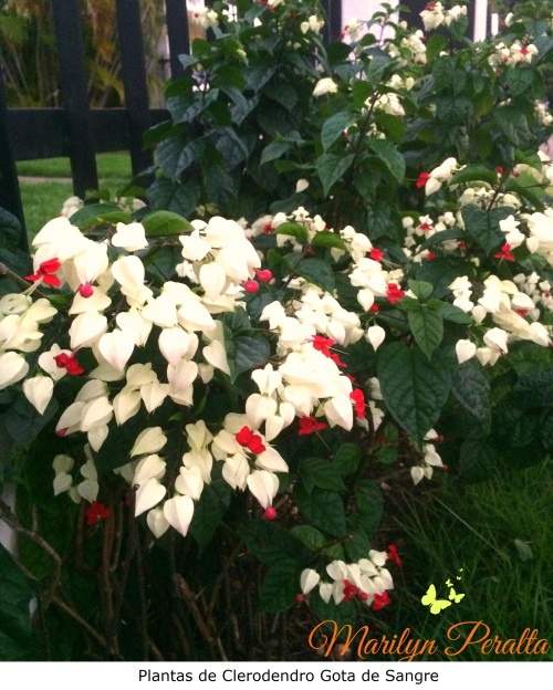 Plantas de Clerodendro Gota de Sangre