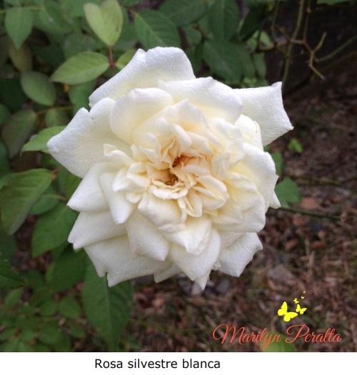 Rosa silvestre blanca