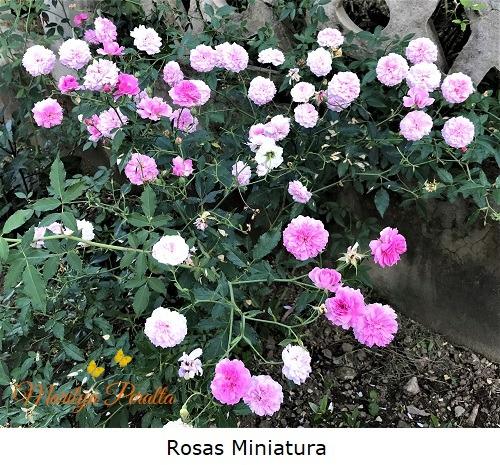 Rosas miniatura