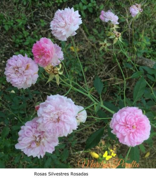 Rosas Silvestres Rosadas
