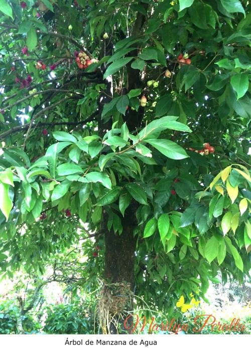 Árbol de Manzana de Agua