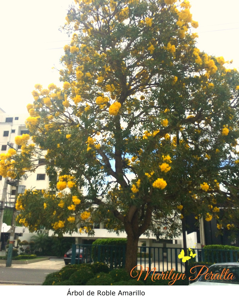Roble amarillo rboles y flores en rep blica dominicana - Fotos del roble ...