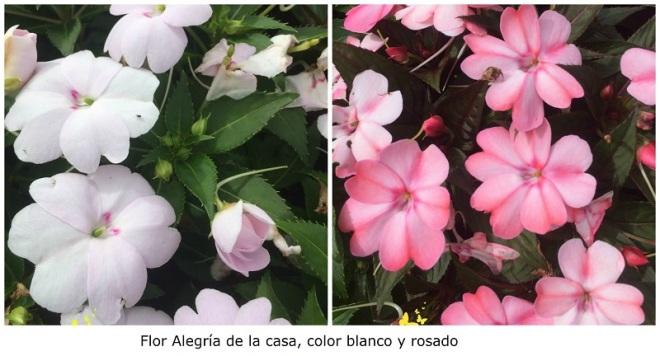 Flor Alegría de la Casa blanca y rosada