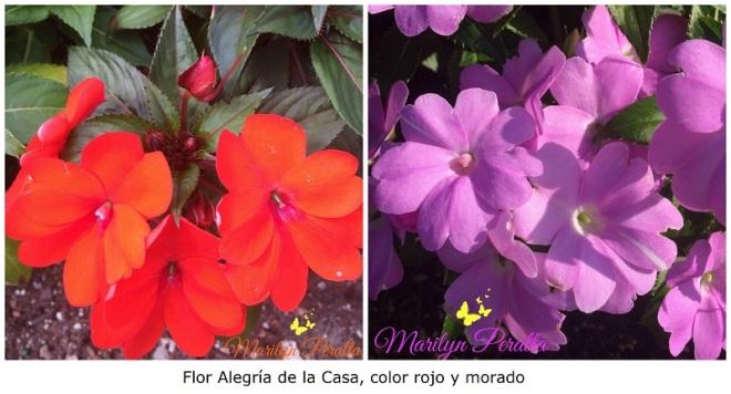 Flor Alegría de la Casa roja y morada