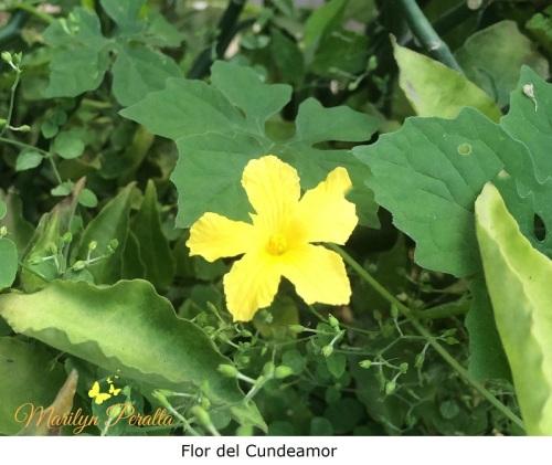 Flor del Cundeamor