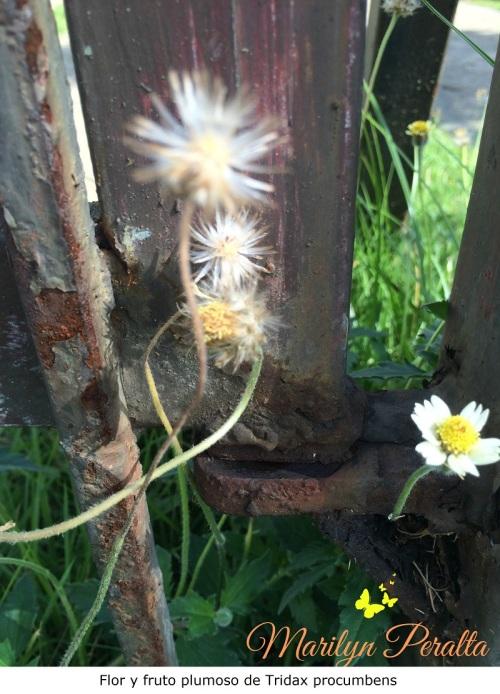 Flor y fruto con semillas de Tridax procumbens