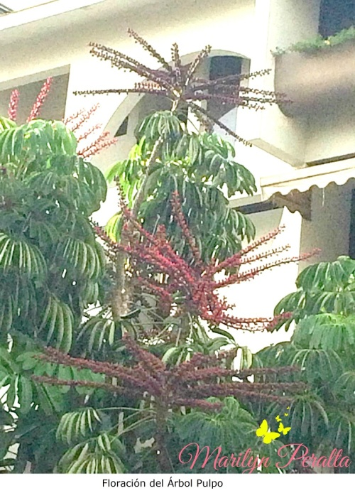Floración del Árbol pulpo