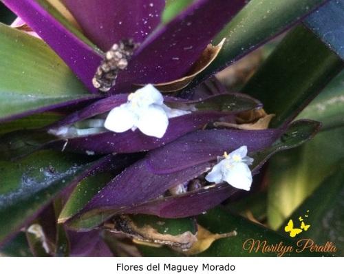 Flores del Maguey Morado